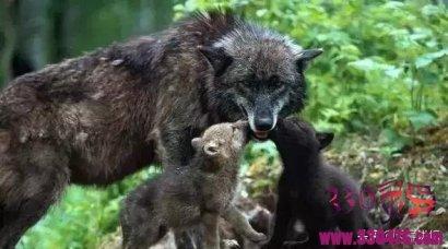 """老人救下怀孕母狼,母狼为了""""报恩""""带狼群进村屠杀"""