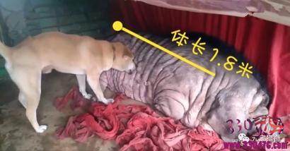 广西猪王活了23岁还养了一个狗儿子,头上天生一个富字