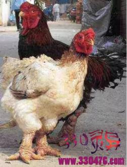 长相如此恐怖的鸡, 居然卖出天价?