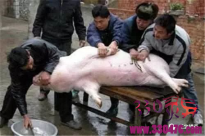 农民杀猪时在猪胃里发现一坨稻草,没想到竟然价值1000万!