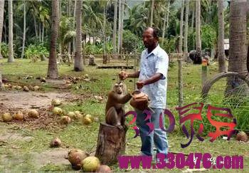 猴子受虐待被强迫摘椰子,终于情绪不满,用椰子砸死主人!