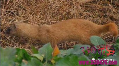 黄鼠狼故事:偷鸡的黄皮子被抓,两年后报恩