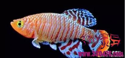 垩鮨鱼:一天能变性30多次的奇鱼 雌雄同体!