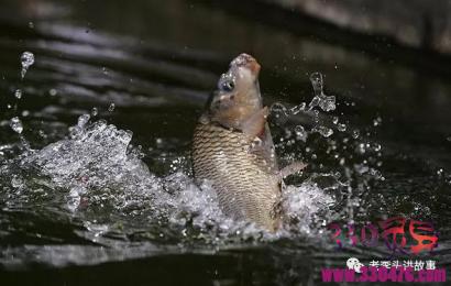 渔夫钓起同一条鲤鱼,放生后,竟鲤跃成龙而去!