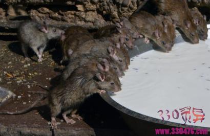 """印度奇葩""""鼠庙""""印度教女神卡尔尼-玛塔庙 上万只老鼠在这里接受供奉朝拜"""
