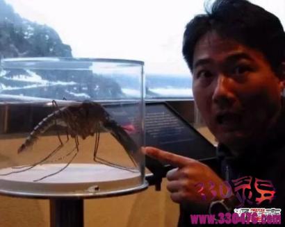 金腹巨蚊:世界上最大的蚊子,金腹巨蚊长达40cm(不吸血专吃昆虫)