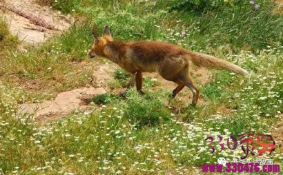 狐狸抬轿,送人参来报恩!