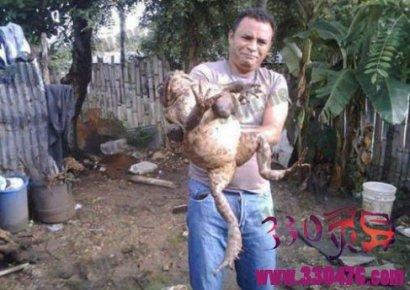 非洲巨蛙:世界上最大的青蛙,一米多长,一条腿一顿吃不完