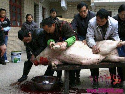 张屠夫杀猪,杀猪不顺主人倒霉