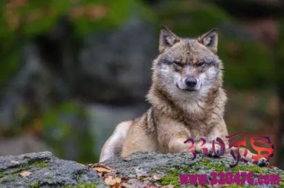 狼精深夜伪装人敲门,开门会被狼一口咬死然后吃掉