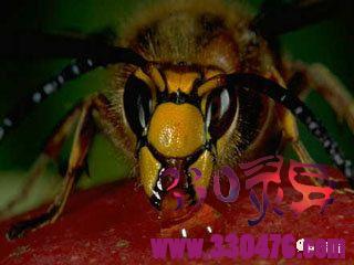 昆虫恐惧症勿进!日本大黄蜂,子弹蚁,杀人蜂,沙漠行军蚁,寄生蝇让人起鸡皮疙瘩的5种虫子。