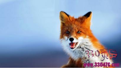 红狐报恩记
