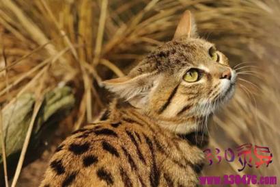 黑足猫体型最小的猫,竟然是个恐怖大胃王!
