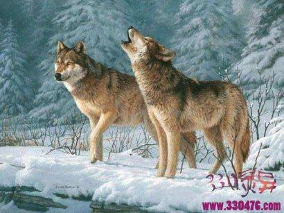青海狼群出现了,我想讲讲东北老林子里的邪狼