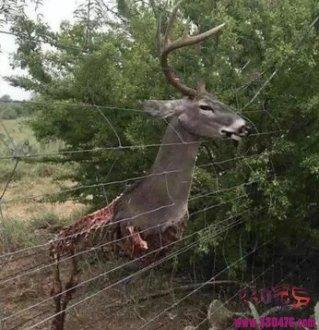一头鹿从脖子以下被野狗啃食干净