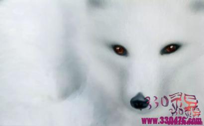 白狐的故事:一只白狐的七世恩怨!