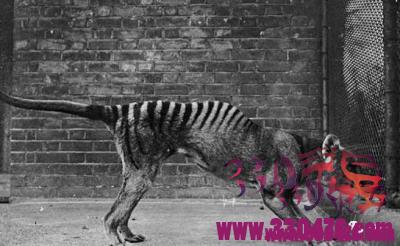 袋狼灭绝的原因,袋狼又名塔斯马尼亚虎因环境因素灭绝