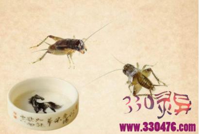 斗蟋蟀斗虫王传奇