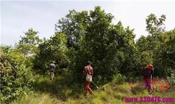 柬埔寨斯韦利尔省蜘蛛猎人如何捕捉泰国斑马狼蛛的?